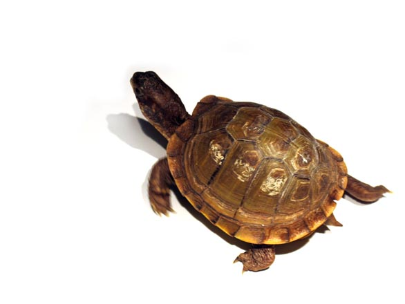 A photograph of a turtle crawling on a white surface toward the upper left corner of the image