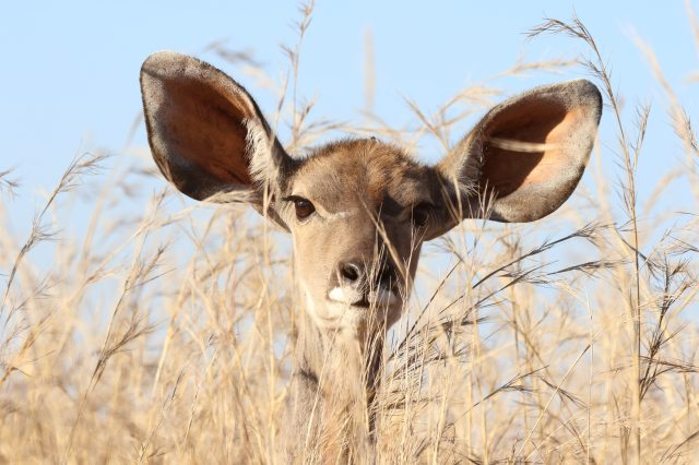 Photograph of a young deer with very large ears looking into the camera through sparse, tall grass