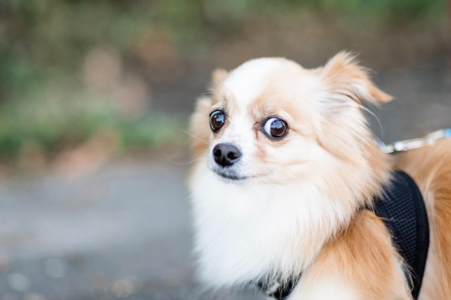A photo of a Pomeranian dog looking skeptically over her left shoulder at the camera